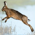 Leaping hare based on Photo by Vincent van Zalinge unsplash.com